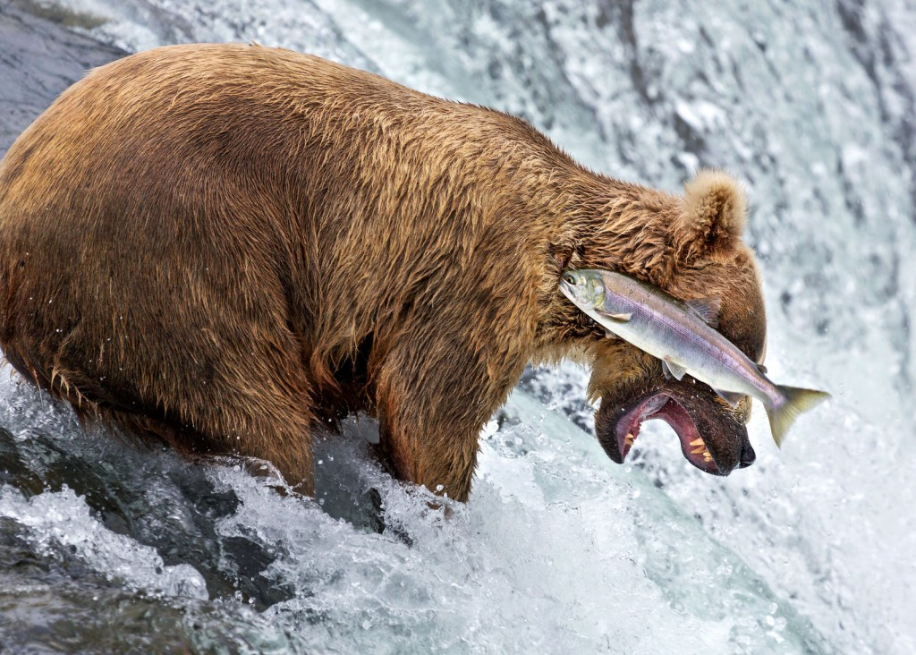 'Urs Grizzly dă greș' © Rob Kroenert